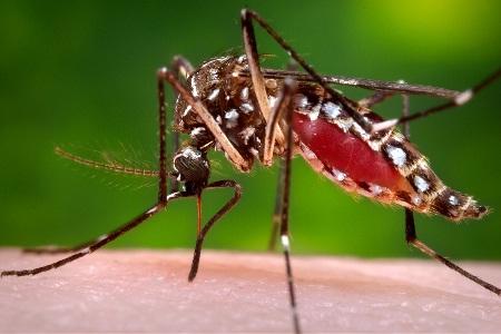 Virus Zika lây truyền qua muỗi đốt